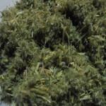 Астрагал шерстистоцветковый (трава)